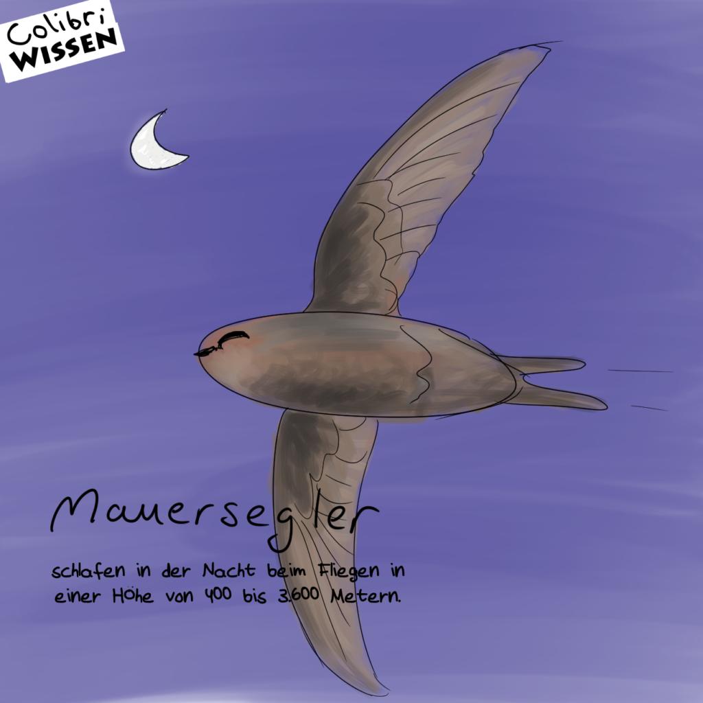 mauersegler